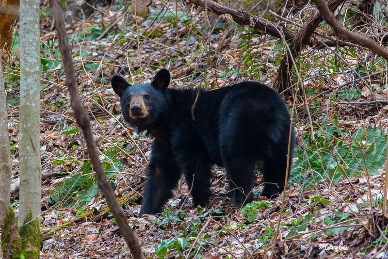 Black Bear-13