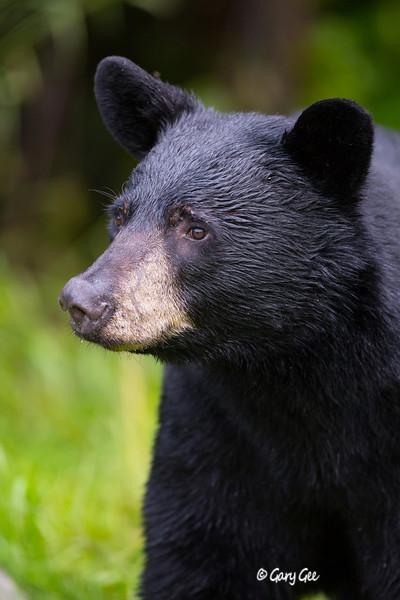 Black Bear_104-1