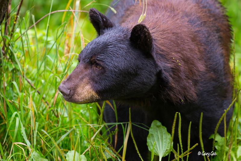 Black Bear_113-1