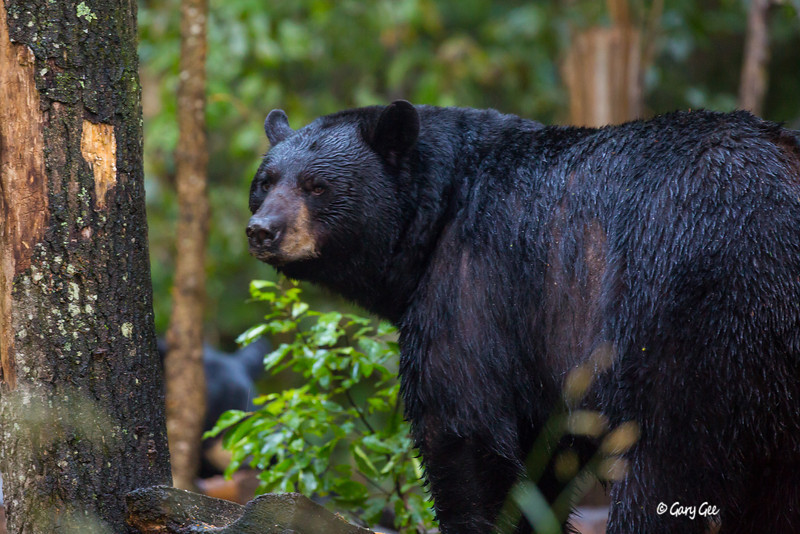 Black Bear_64-1