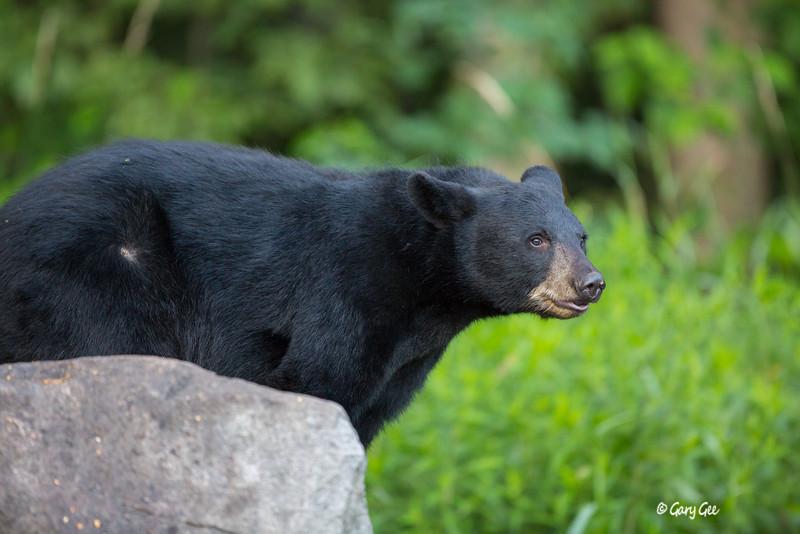 Black Bear_39-1