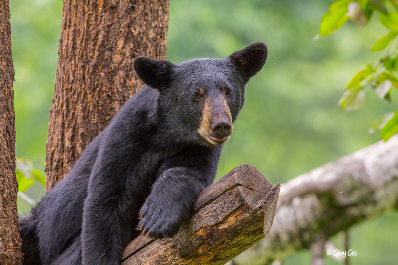 Black Bear_129-1