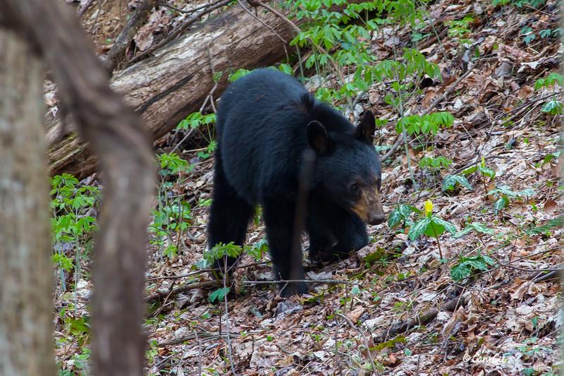 Black Bear-7
