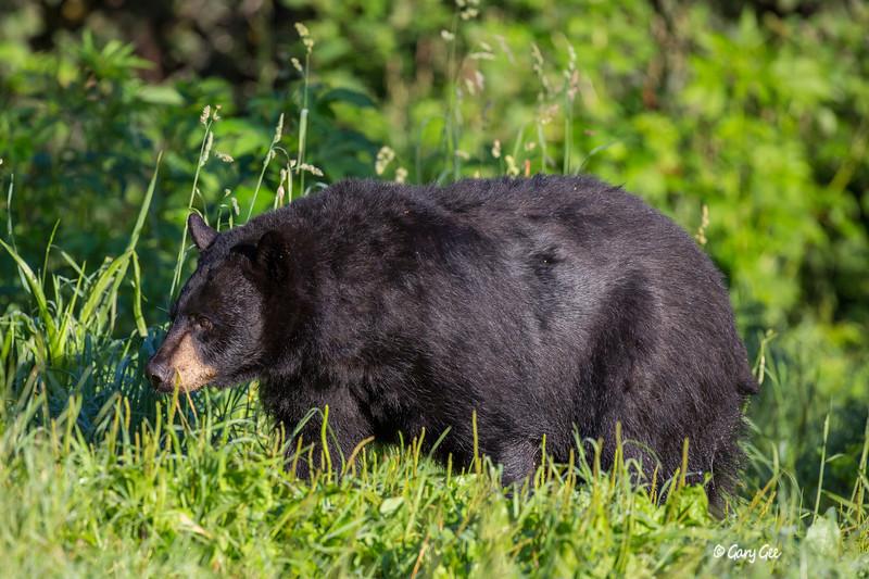 Black Bear_51-1