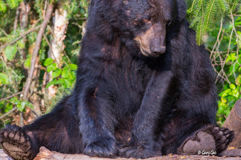 Black Bear_143-1