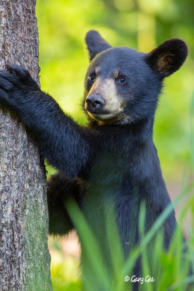 Black Bear_27-1