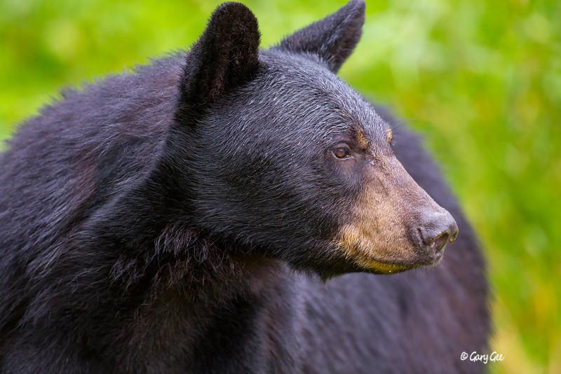 Black Bear_97-1