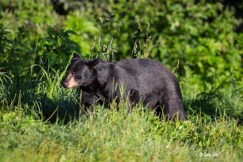 Black Bear_49-1