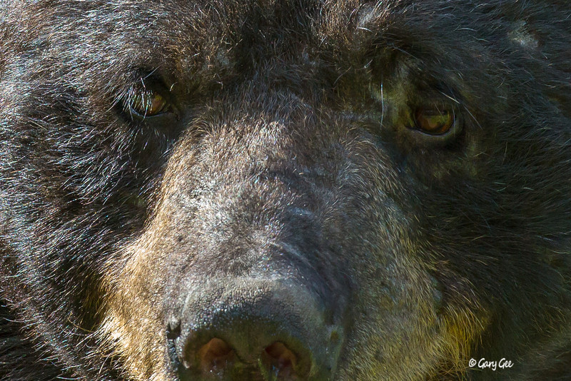 This bear was actually a 3 legged bear that would allow you to get into a few stare downs with him!