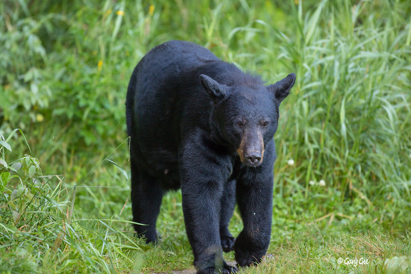 Black Bear_40-1