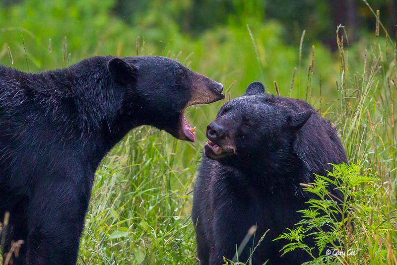 Black Bear_71-1