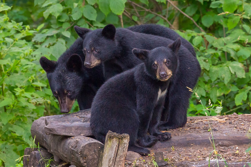 bear cub family portrait