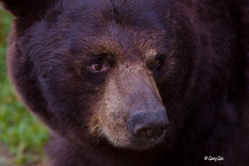 Black Bear_151-1