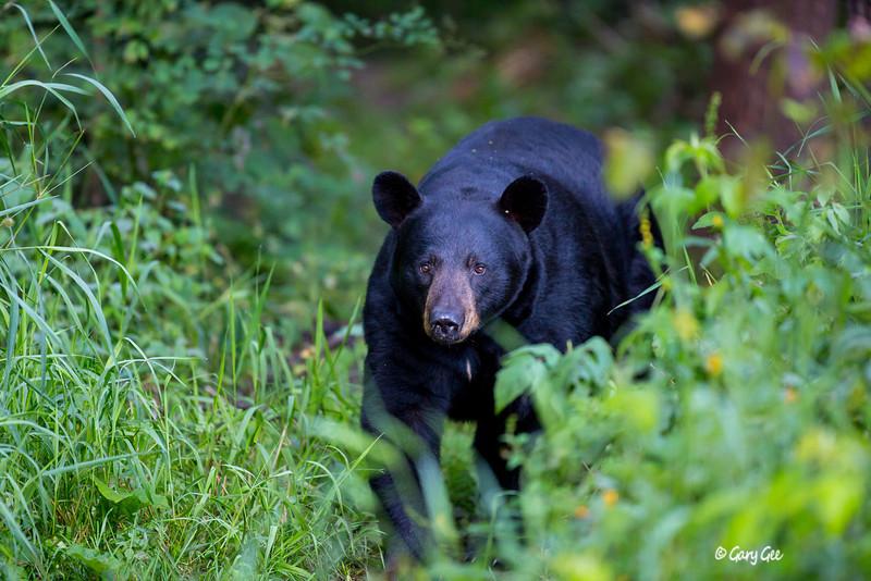 Black Bear_38-1