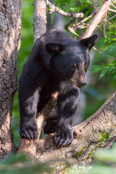 Black Bear_139-1