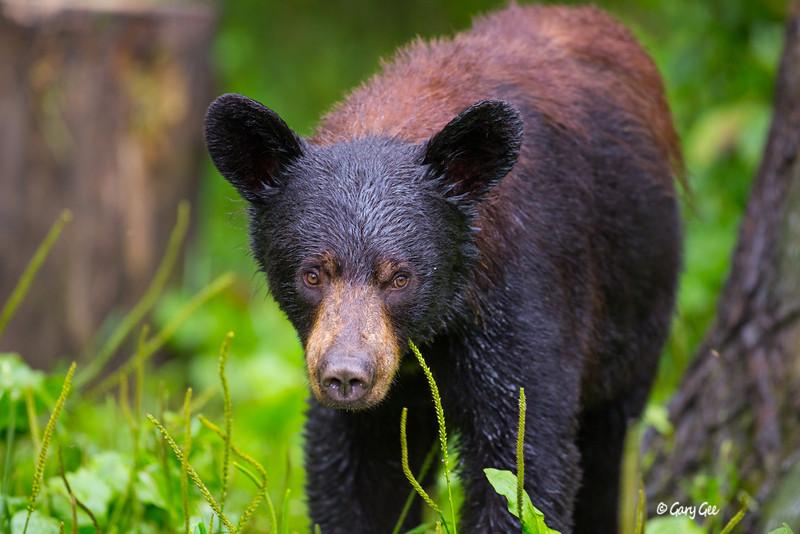 Black Bear_116-1