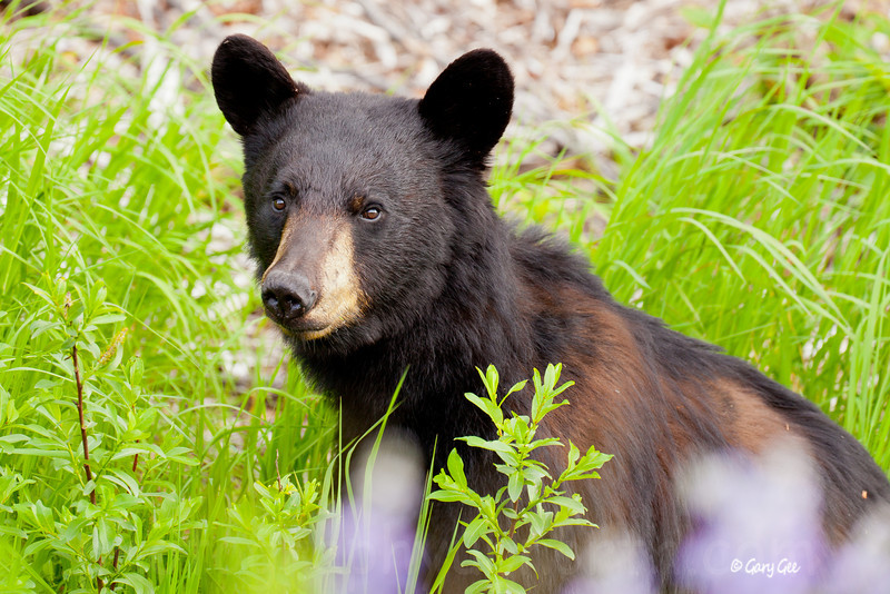 Black Bear with a little cinnamon mixed in
