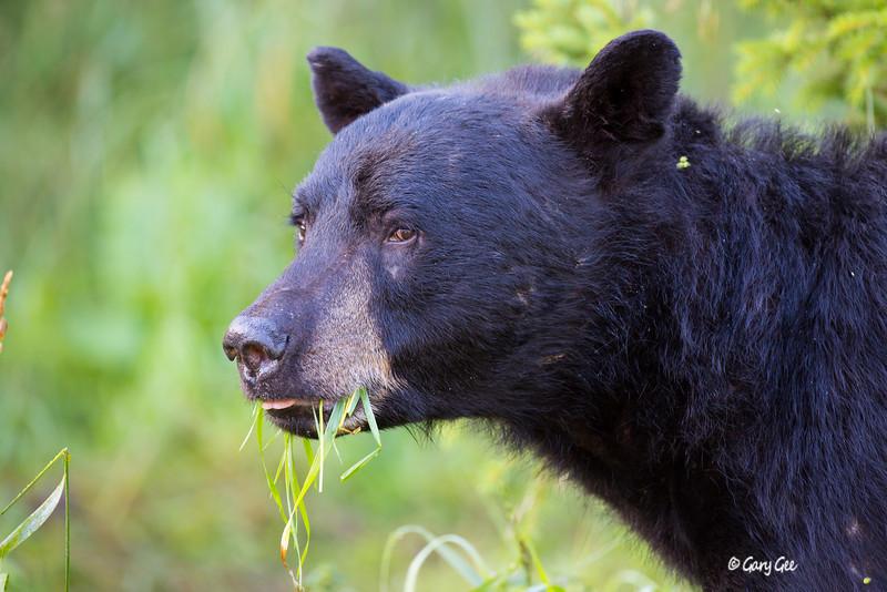 Black Bear_53-1
