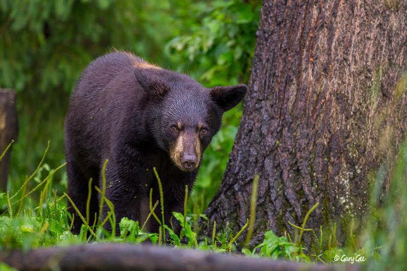 Black Bear_109-1