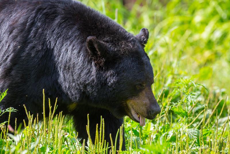 Black Bear_20-1
