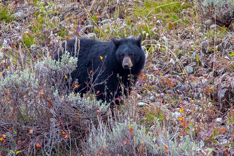 Black Bear in Yellowstone Park
