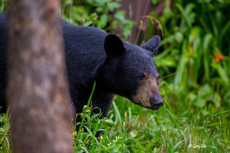 Black Bear_102-1