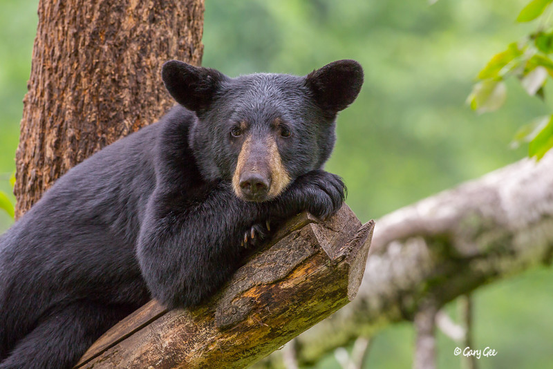 Black Bear_12-1