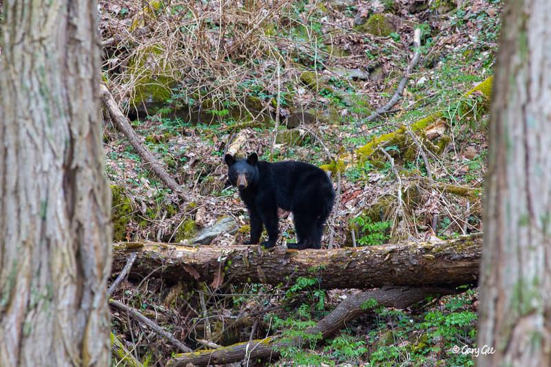 Black Bear-10