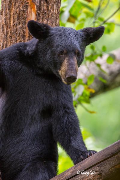 Black Bear_123-1