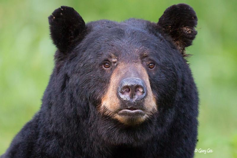 Papa Bear!