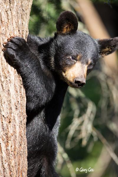 Black Bear_26-1