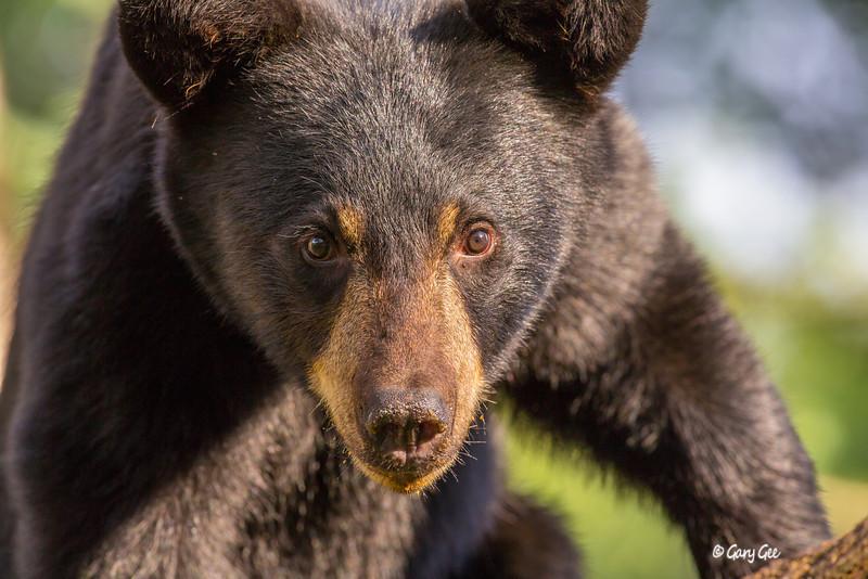 Black Bear_144-1