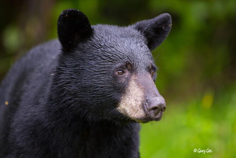 Black Bear_103-1