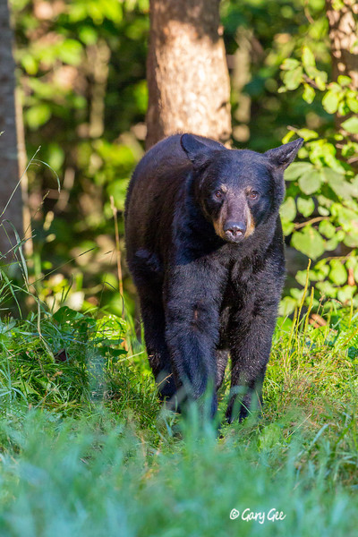 Black Bear_44-1