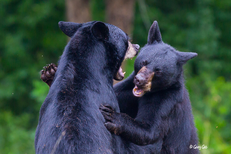 Fighting Brother Bears