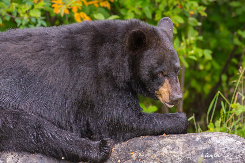Black Bear_131-1