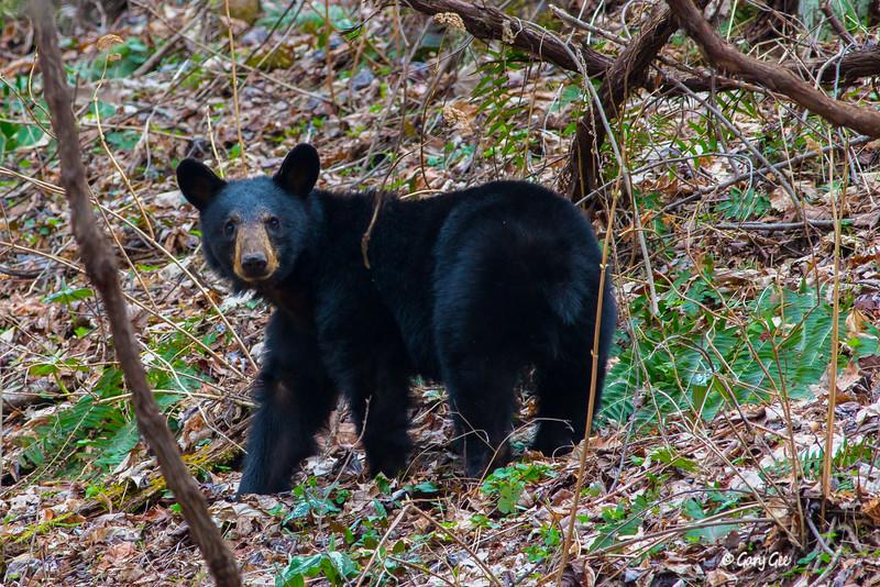 Black Bear-14