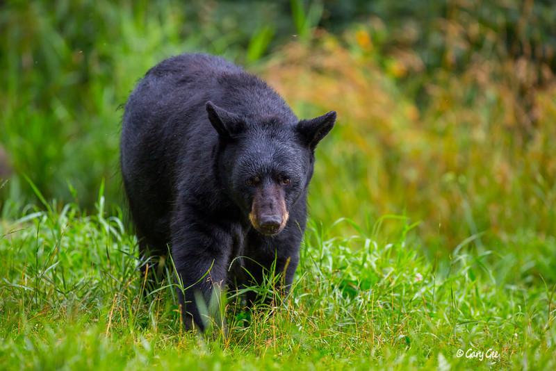 Black Bear_74-1