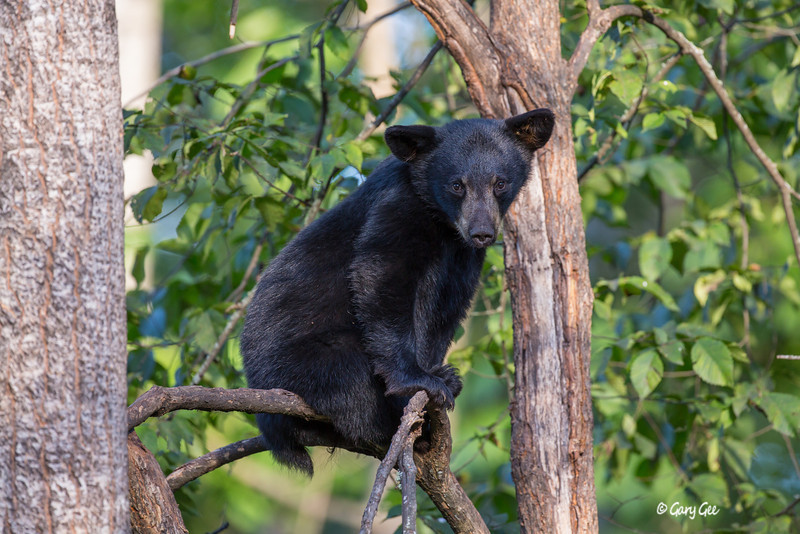 Black Bear_29-1