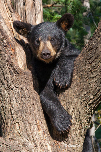 Black Bear_34-1