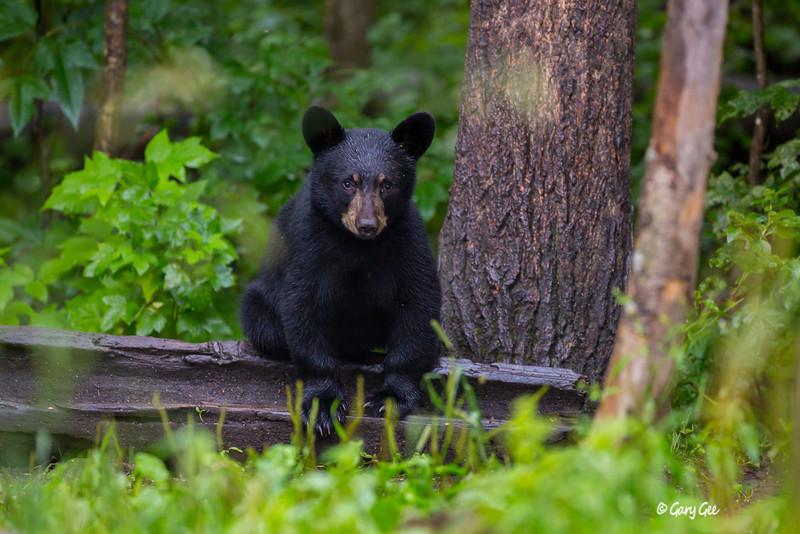 Black Bear_107-1