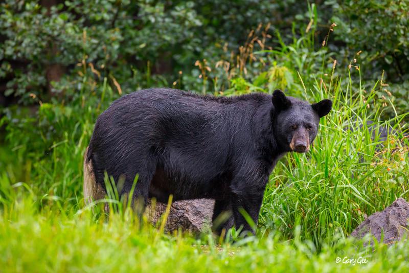 Black Bear_72-1