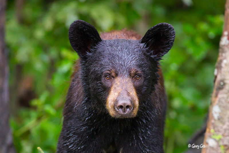A soaked cinnamon colored black bear