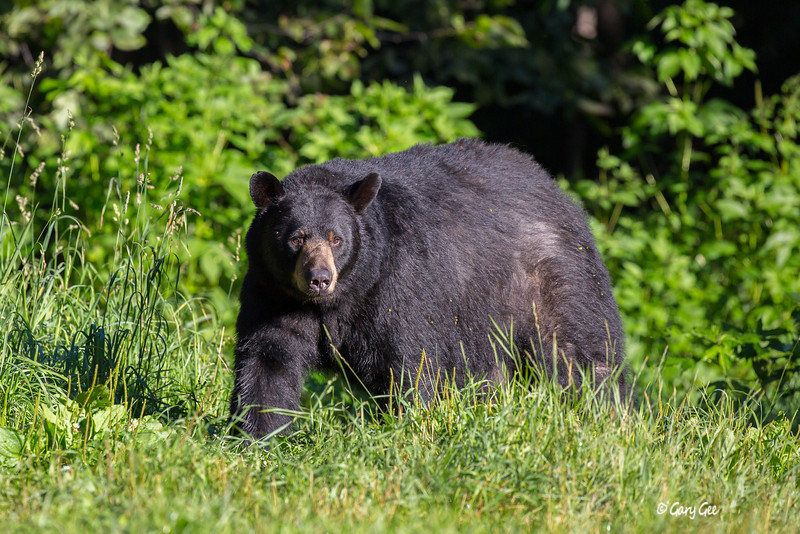 The mid-morning sun welcomes this black bear into the meadow