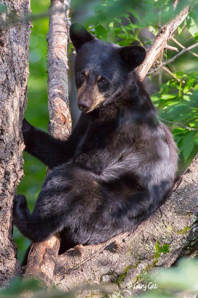 Black Bear_141-1
