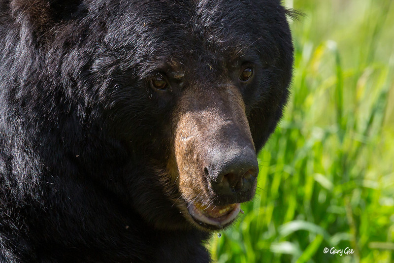 Black Bear_152-1