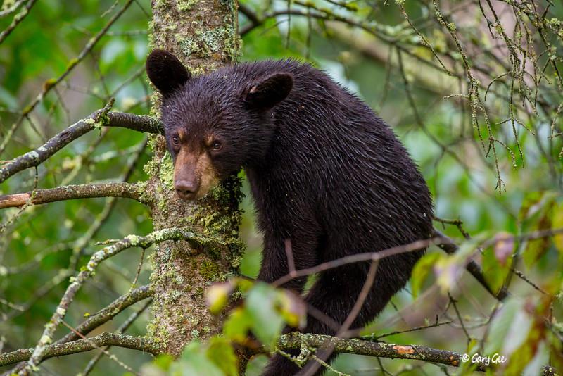 Black Bear_89-1