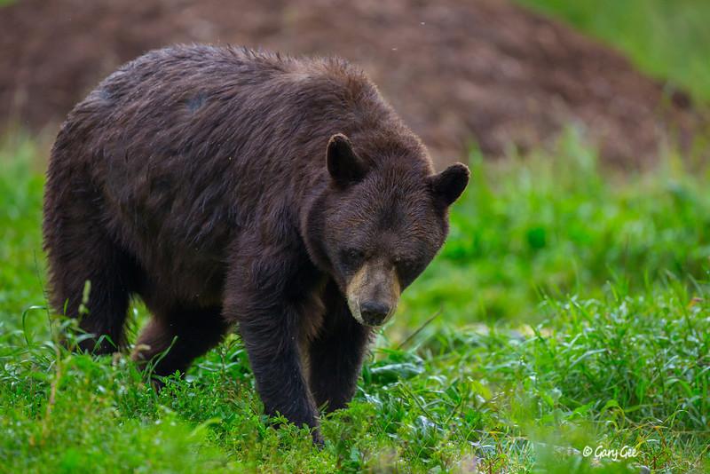 Black Bear_94-1