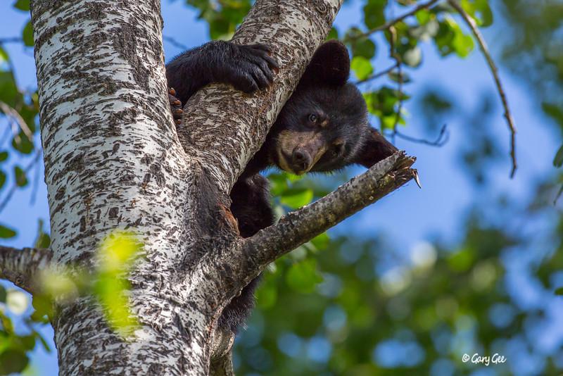 Black Bear_19-1
