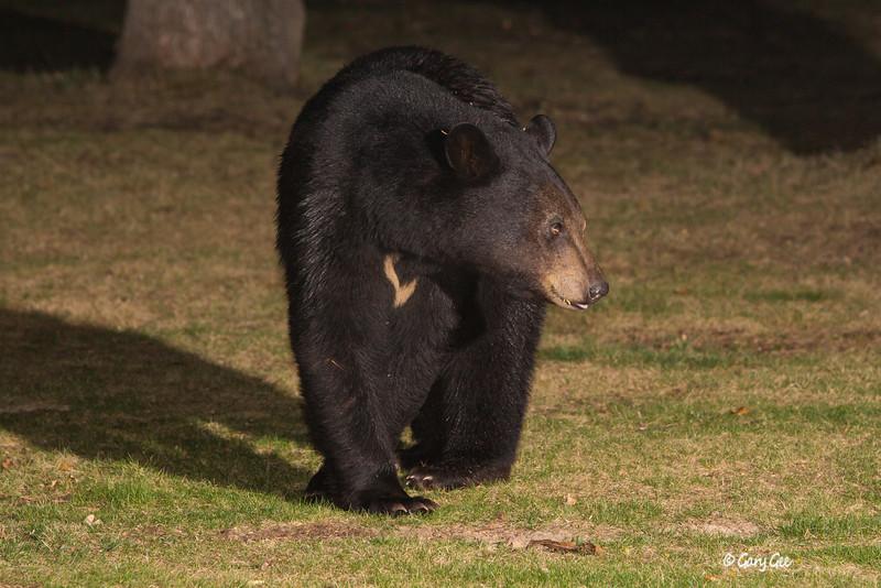 Black Bear Comins, MI
